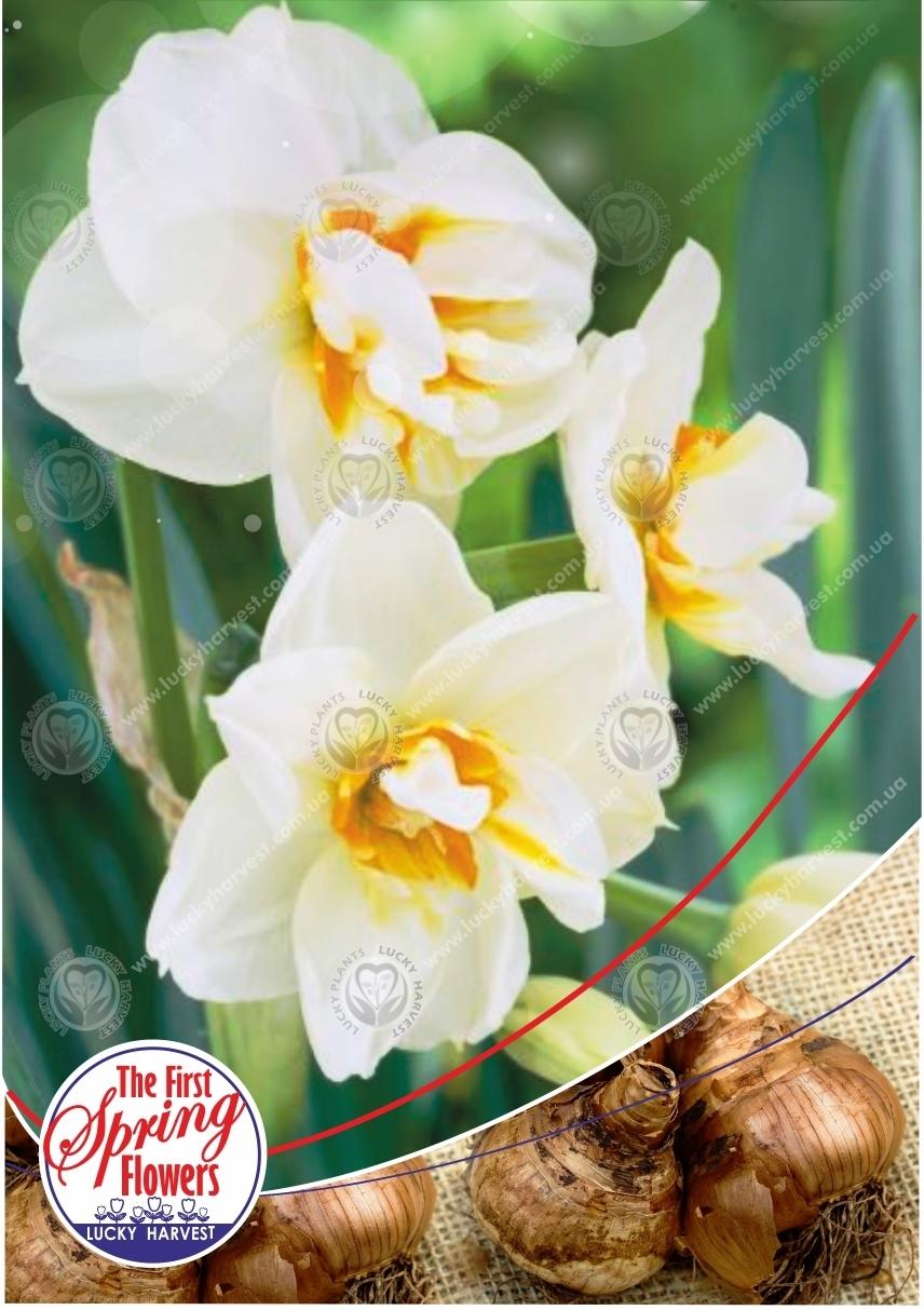 Луковицы Нарцисса  Многоцветкового  Махрового