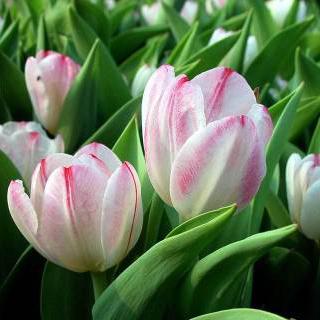 Букет 15 белых тюльпанов