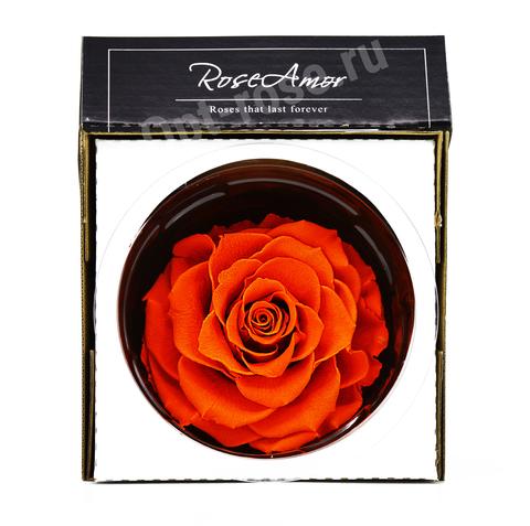 Стабилизированный Бутон Розы Кинг Rose Amor(Эквадор)Bonita Цвет Оранжевый (10-12см)