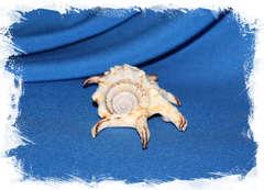 Lambis arthritica, Lambis chiragra arthritica