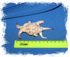 Harpago arthriticus размер