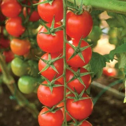 Clause Сентино F1 семена томата индетерминантного (Clause / Клос) Томат_Сентино.jpg