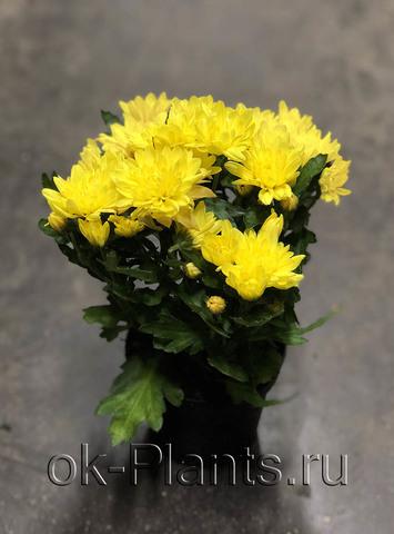Хризантема Махровая Желтая