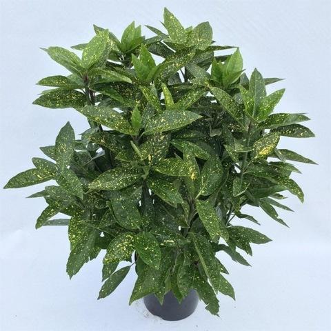 Аукуба (Золотое дерево)