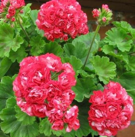 Пеларгония Pink Rambler