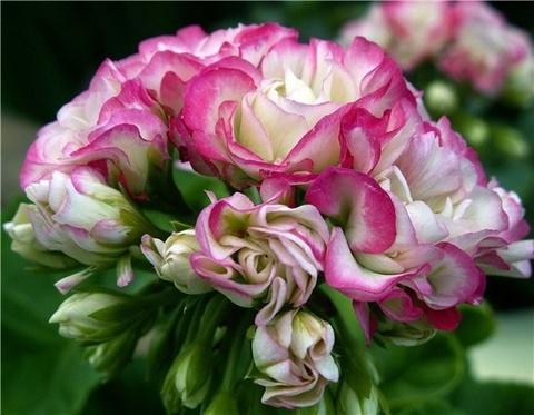 Пеларгония Appleblossom Rosebud