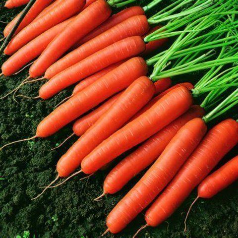 Нантская Темпо F1 семена моркови нантской (Vilmorin / Вильморин) Темпо_F1_семена_овощей_оптом.jpg