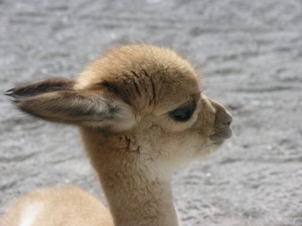 Детёныш викуньи (Перу)