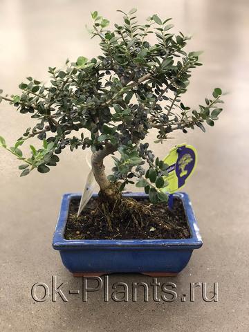 Бонсай Оливковое Дерево