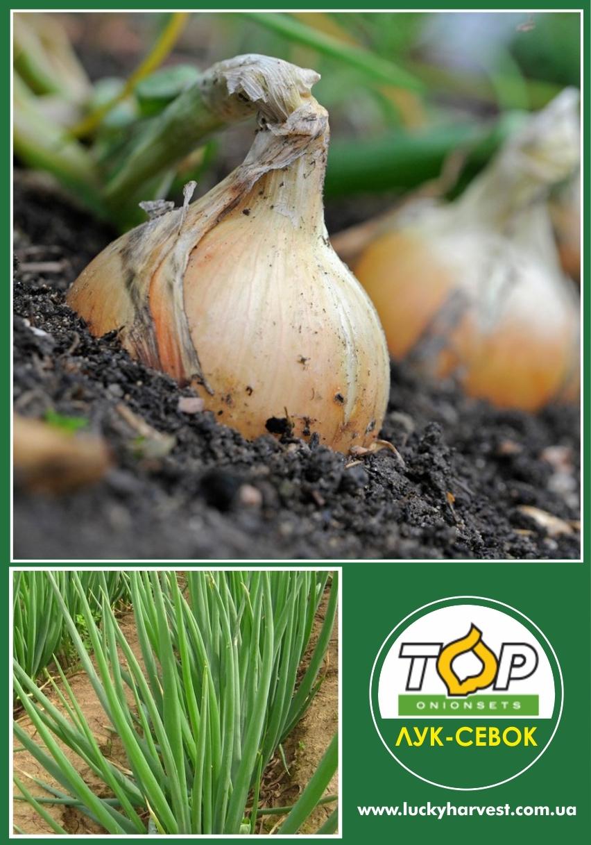 Озимый лук  севок Siberia (Сибирь) 0.5 кг ТОР (Нидерланды)
