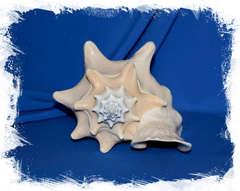 Стромбус Гигас 21-25 см