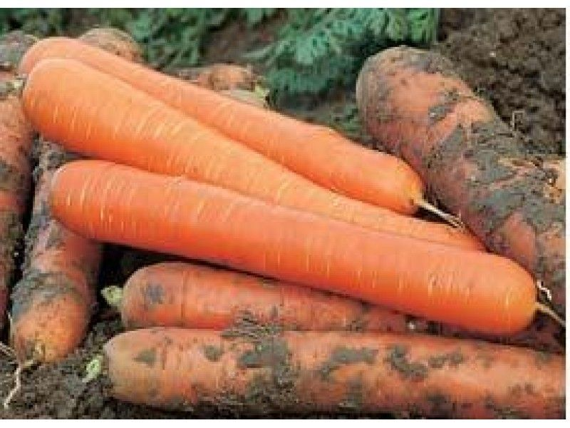 Нантская Чемпион F1 семена моркови нантской (Syngenta / Сингента) Чемпион_семена_овощей_оптом.jpg