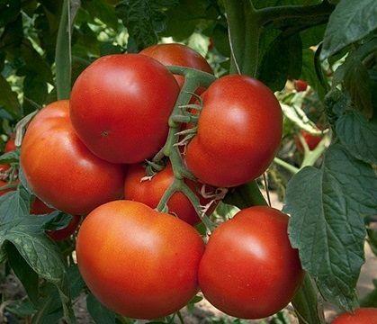 Томат Панекра F1 семена томата индетерминантного (Syngenta / Сингента) Панекра_F1_семена_овощей_оптом.jpg