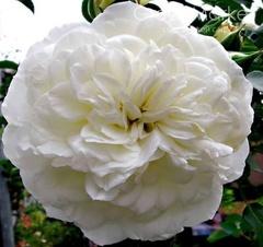 White Meidiland