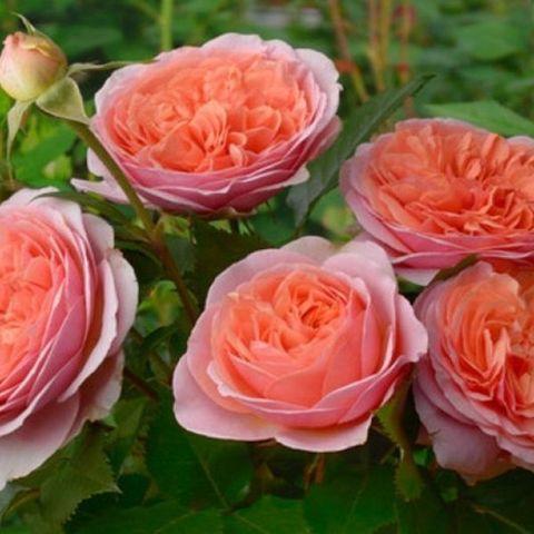 Роза английская душистая Чарльз Остин С6