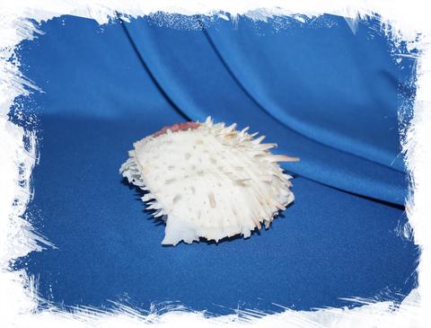 Морская ракушка Spondylus varius