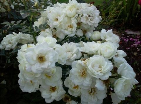 Роза миниатюрная Вайт Кове (в тубе)