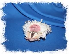 Раковина двустворчатого моллюска Spondylus varius