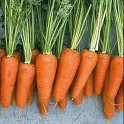 Морковь Шантенэ-комет семена моркови курода/шантане (Hazera / Хазера) Комет_семена_овощей_оптом.jpg