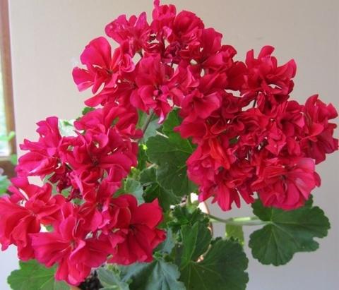 Пеларгония Rosy Down
