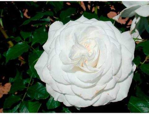Роза чайно-гибридная Аннапурна (в тубе)