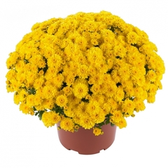 Хризантема мультифлора Gigi Yellow N 2051