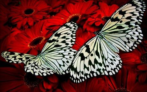 Картина раскраска по номерам 30x40 Бабочки на красных герберах