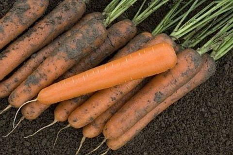 Нантская Экзелсо F1 семена моркови нантской (Vilmorin / Вильморин) ЭКЗЕЛСО_F1_семена_овощей_оптом.jpg