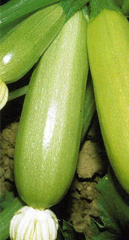 Семена Кабачок Грибовские 37 б/п