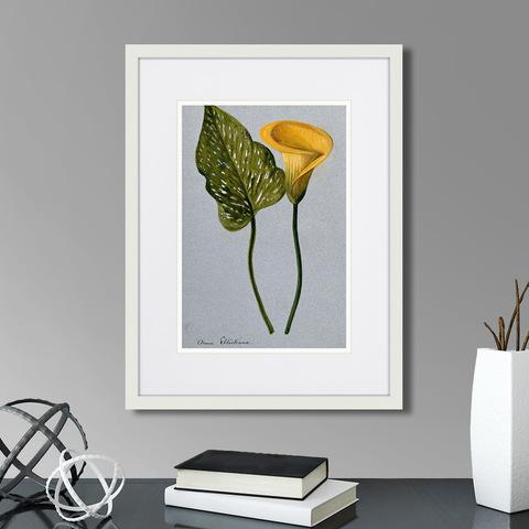 Клифтон Хардинг - Yellow arum lily, 1899г.