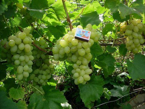 Виноград культурный Лора С5