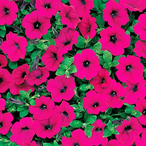 Семена цветов Семена цветов Петуния ампельная F1 Вэйв Парпл, PanAmerican Seed, 5 шт. Петуния-ампельная-F1-Вэйв-Парпл.jpg