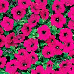 Семена цветов Петуния ампельная F1 Вэйв Парпл, PanAmerican Seed, 5 шт.