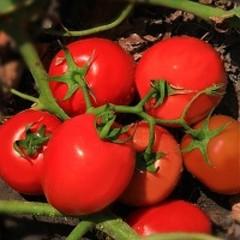 Велоз F1 семена томата полудетерминантного (Seminis / Семинис)