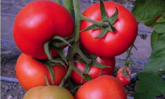 Томат Барибине F1 семена томата индетерминантного (Syngenta / Сингента) барибине.PNG