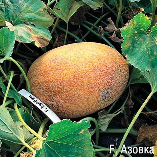 Каталог Азовка F1 семена дыни (Гавриш) азовка.jpeg