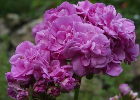 Пеларгония Blue Spring