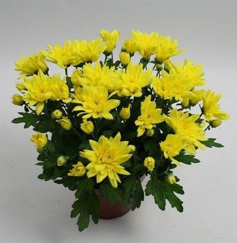 Хризантема желтая Ковингтон