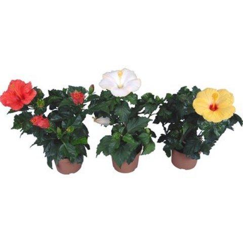 Гибискус комнатный или Роза китайская