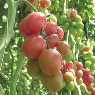 Томат ДРК 936 F1 семена томата индетерминантного (De Ruiter Seeds / Де Ройтер Сидс) Томат_DRK_936_.jpg