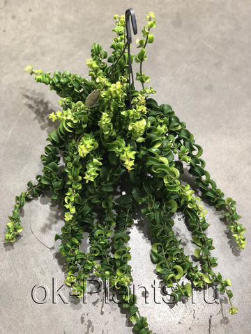 Эсхинантус Раста подвесной