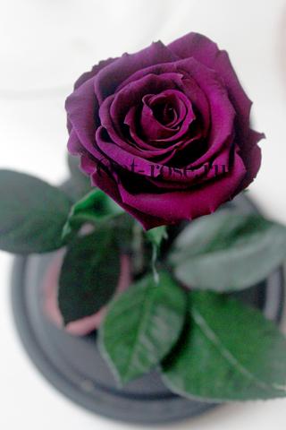 Роза Premium Оптом Выс*Диам*Бутон (27*15*6-7см)Цвет фиолетовая