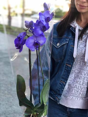 Голевая орхидея #00615