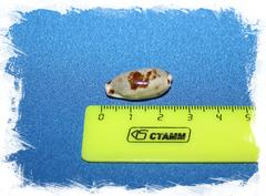 Ципрея цилиндрика, Erronea cylindrica
