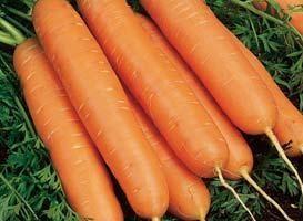 Нантская Юкон F1 семена моркови нантской (Syngenta / Сингента) Юкон_F1_семена_овощей_оптом.jpg