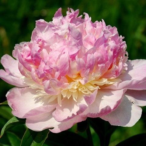 Пион молочноцветковый Распберри Сандей