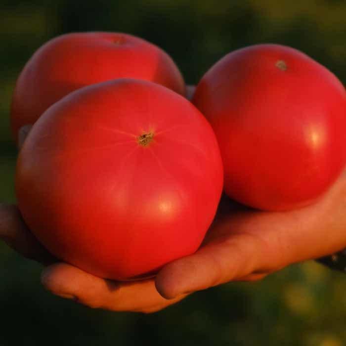 Nunhems Майсалун F1 семена томата детерминантного (Nunhems / Нюнемс) майсалун_3.png