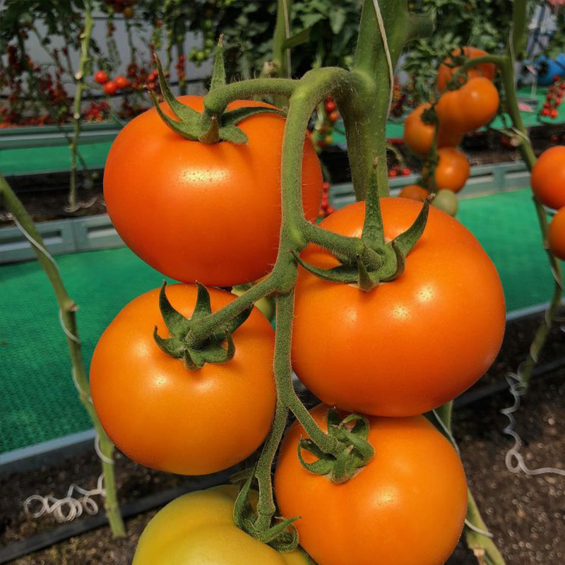 Томат Бигоранж F1 семена томата индетерминантного (Takii / Таки) бигорандж_томат_такаии.jpg