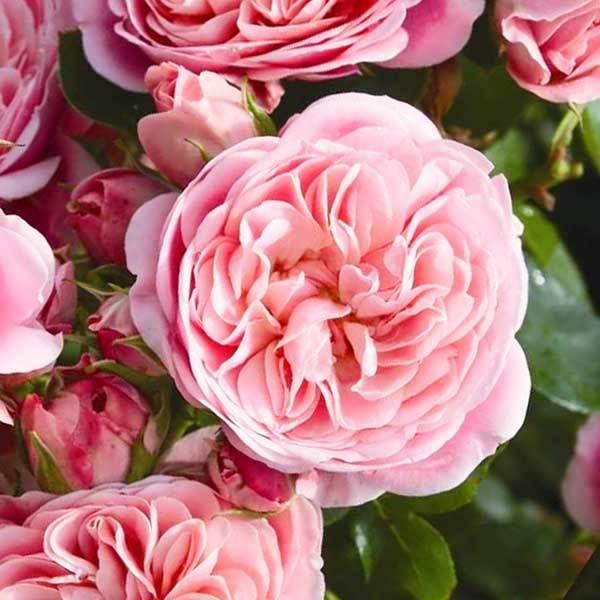 Роза флорибунда Байяндо