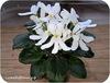 Фиалка, Lunar Lily White (J.Dates)